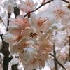 新宿で一足先に桜を満喫♪♪ 造花のクオリティがすごい!!