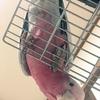 モモイロインコのふくちゃん、2歳の誕生日です。(画像あり)