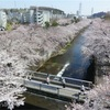 町田市周辺|桜祭り日程 場所 紹介|2019