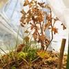 庭のローズゼラニウムの冬