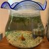 只今の金魚鉢は金魚の避難所。