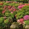 🌺根津神社のつつじが咲き始めました⛩