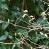 芽吹く小枝