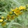 キンミズヒキの花