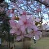 佐倉城址公園の河津桜と梅