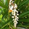 沖縄の花 月桃