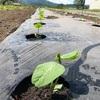 毛豆の定植を終えました!雨が降らないので水不足が心配です。