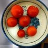 ミニトマト収穫①