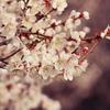 一日一撮 vol.495 梅を求めて滝宮天満宮:まばらに咲く梅花