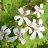 庭のハーブの花