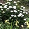 白い紫陽花、満開です。