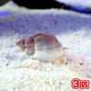 (海水魚 貝 無脊椎)(B品)イボヨウバイ 底砂とその他の掃除(3匹) 北海道・九州航空便要保温
