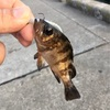 那珂湊で可愛いメバルが釣れました。