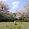 今日も桜に誘われて