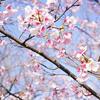 カンザクラがかわいく咲いてる戸田川緑地へおでかけ