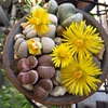 メセンの花祭り