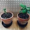 【スパイス栽培日vol.6】生命の力強さに感動!春は芽生えの季節だね【カレーリーフ】