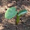 今期の里芋栽培