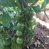 #3 夏野菜'19 ミニトマトが肥料過多
