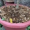 庭初デビューの植物達の概要と冬に保温様とした木のチップのお話