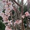 我が家の桜が咲きました。