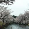 雨ですが 桜並木へ行ってきました 牛久市 奥原工業団地
