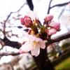 【写真】少し早いけど、国立で桜を見てきました。