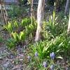 春のタンコブ