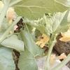 ハチが大活躍 メロン栽培