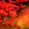 コハウチワカエデ:小鳥の森