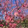 梅の花が見頃♪