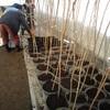 桜苗木移植