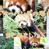 【写真】動物園のアイドル!レッサーパンダの写真まとめ【動物園】