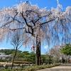 【ソウルの桜】ソウル顕忠院(ヒョンチュンウォン・国立墓地)のしだれ桜