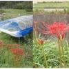 田の中に侵入する雑草、ムツオレグサとキシュウスズメノヒエの対策