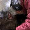 今までありがとう!お年寄りチンパンジーの最後の力を尽くした心の抱擁!
