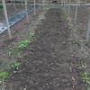 ジャンボ落花生9番畝の収穫完了