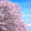 桜が悲しい思い出につながる