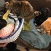 猫のしっぽちゃん緊急手術になりました。