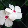 日日草  夏の草花