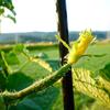 朝の畑のキュウリの花