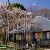 【埼玉の桜】坂戸市・慈眼寺を訪ねて,枝垂れ桜とジャズ観音に会ってきました
