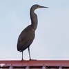 屋根にたたずむ Bare-throated Tiger Heron (ベアースローテッド タイガーヘロン)