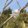 初めて咲いた我が家の梅の花