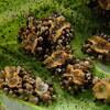 シダ植物の胞子嚢群、胞子嚢、胞子(ルーペ)