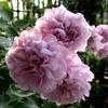 バラ、レイニーブルー 地植えで大きく or 鉢でコンパクトに?