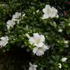 これはサツキなのかな?たぶん、5月に咲いているからサツキなんだろう(^o^)