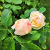イギリスのロンドンのバラの頃のリージェンツ・パーク【イギリスのとっておきの風景】