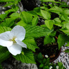 白い花 〜わが家の花たち〜
