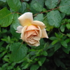 雨の中、つるジュリア咲く 2013/06/09